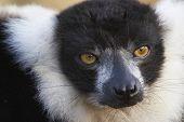 Endangered Lemur