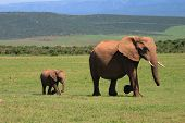African Elephant Cow And Calf