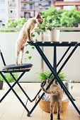 Devon Rex Cats Are Walking On The Balcony, Watching Birds And Enjoying Fresh Air. poster