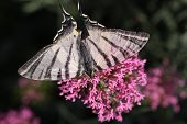 Swallowtail Iphiclides Podalirius