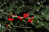 English Holly Tree With Red Berries