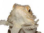 Shedding Bearded Dragon
