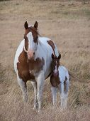 foto of paint horse  - Paint mare with new born foal grazing in pasture - JPG