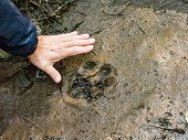The Trail Of A Great Tiger In The Mud. The Trail Of A Great Tiger In The Mud. Footprint Of The Tiger poster