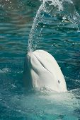 white whale throwing water from its mouth