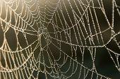 Dew drops on a cobweb