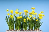 Yellow Daffodils in a Flower pot