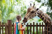 Kids Feed Giraffe At Zoo. Children At Safari Park. poster