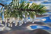 Pine Branch With Icicles