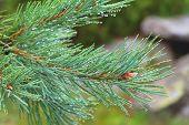 Fir Tree Brunch Close Up. Shallow Focus. Fluffy Fir Tree Brunch Close Up. Copy Space poster