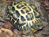 Flat Tailed Tortoise