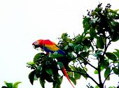 Lonely Red Macaw In Placed On A Tree In Fincas Maresia Lodge, Drake Bay, Corcovado National Park, Co poster