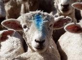 A sheep with a Blue mark on its face