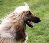 A portrait shot of a happy Afghan Hound