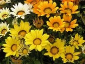Shades of Yellow Gazanias