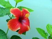 Flor de hibisco solo contra una pared de torquise