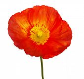 Large Orange Poppy isolated with clipping path
