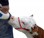 Hereford Calf isolated with clipping path