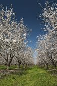 Almond Trees In Spring Bloom