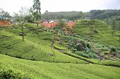 A tea plantation in Sri Lanka. A Hindu temple and settlement are atop the hill in the background and