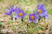 Pasque Flower In A Forest