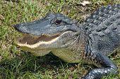 Alligator Threat