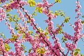 foto of judas tree  - Looking Up towards The Sky (Cercis S?liquastrum)