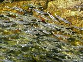 Spawning Salmon Swimming In Stream