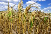 stock photo of corn stalk  - Poorly developed cornstalks show the effects of prolonged hot - JPG