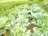 Crop Of White Cabbage