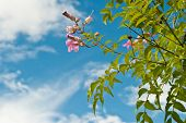 stock photo of saucer magnolia  - Pink abloom flower in sunny spring day in front of blue sky - JPG