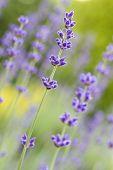 Lavender flowers (Lavandula angustifolia) shallow DOF, closeup