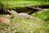 pic of negro  - (Caiman crocodilus), also known as the white caiman - JPG