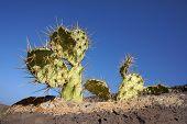 Opuntia crecen sobre una roca, Fuerteventura, Canarias