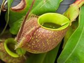 stock photo of nepenthes  - Tropical pitcher plants or Monkey cups in garden - JPG