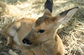Young Deer. Was Born One Month Ago.