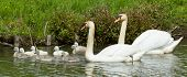 Cygnet Are Swimming
