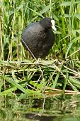 Common Coot Sitting On A Nest