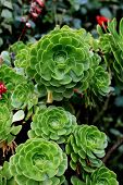 Aenium Plants
