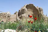 stock photo of shiraz  - Red poppy and ruins of Ardeshir - JPG