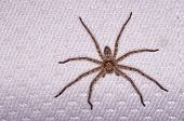 Huntsman spider on the bed