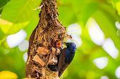 Male sunbird feeding young