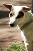 Retrato de Jack Russell Terrier