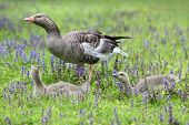 Greylag Goose And Gosling