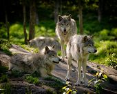 stock photo of furry animal  - A small pack of three Eastern timber wolves gather on a rocky in the North American wilderness - JPG