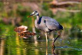 stock photo of low-necked  - Great Blue Heron fishing in the low swamp waters in High Dynamic Range - JPG