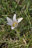 White Pasque Flower