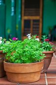 A terracotta pot full of the herb parsley nestled among some pots of flowers on a home patio.