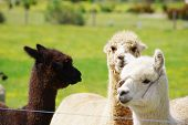 picture of animal husbandry  - grazing grassland animals Australia alpaca white yellow and black - JPG