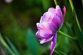 Lilac Flower Tulip